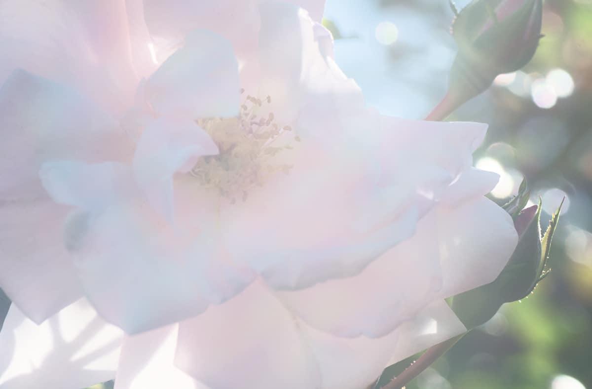rose-bepflanzung-bullinger